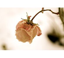 Wilting pink rose Photographic Print