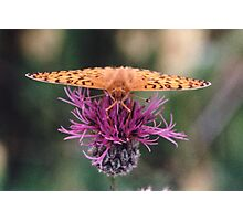 Dark Green Fritillary butterfly Photographic Print
