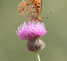 Niobe Fritillary butterfly by Hugh J Griffiths