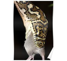 Eastern, Coastal or McDowell's Carpet python  - Morelia spilota mcdowelli Poster