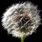 Dandelion by Diandra Dimic
