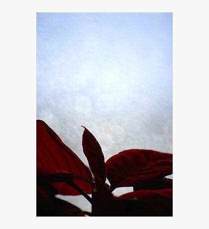 Poinsettia Photographic Print