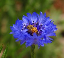 My friend Buzz and blue flower by dfrahm