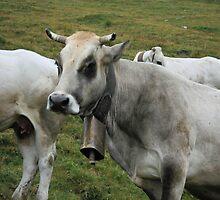 Cows in pasture - Monte Tibert - Castelmagno (Cn) by Bru66