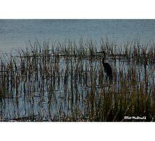 Beaufort Heron Photographic Print