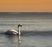 Lake Michigan Swan by ariesphoto