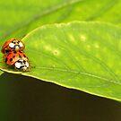Ladybugs mating by kellimays