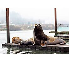 Sea Lions . Astoria, Oregon Photographic Print