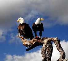 PAIR OF BALD EAGLES CLOSEUP by TomBaumker