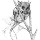 Pigmy Possum by Lyell Dolan