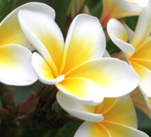 frangipani flower Sticker