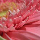 Pink Gerbera by BecQuist