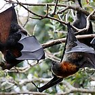 Grey-headed Flying Fox - Pteropus poliocephalus by Normf