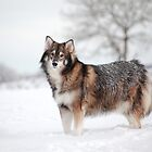 Utonagan (Loki) by Photo Scotland
