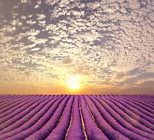 Sunset over a summer lavender field in Provence, France by Atanas Bozhikov NASKO