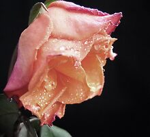 Faded Rose. by Vitta