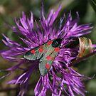 Narrow Bordered 5 Spot Burnet Moth by Dave Godden
