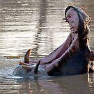 Hippo Yawning by Michael  Moss