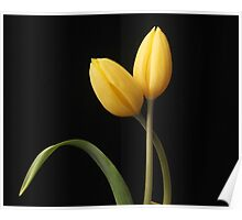 Yellow tulips with leaf Poster