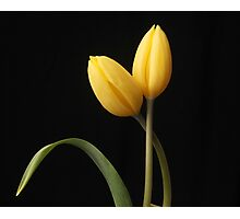 Yellow tulips with leaf Photographic Print
