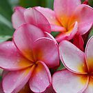 Christmas Frangipani 2009 by Keith G. Hawley