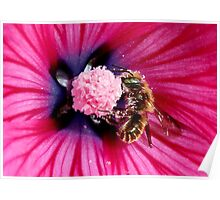 Honey Bee in Lavatera Poster