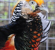 Golden Pheasant Close Up by streetraven