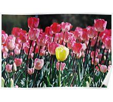 Yellow Tulip at Floriade. Poster
