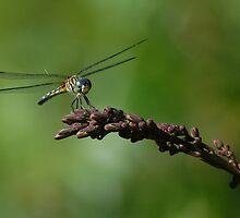 Dragonfly  by LadyTimeWarrior