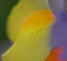 Dutch Iris - An artistically  blurred rendition    by Robert Dayton