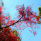 Fabulous Flame Tree by ronsphotos