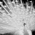 White peacock posing by Aleksandra Misic
