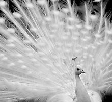 White peacock posing by aleksandra15
