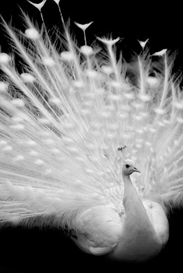 White peacock posing by Aleksandra Misic