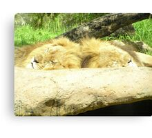 Lions asleep at Perth Zoo Canvas Print
