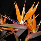 Bird of Paradise by lozonline