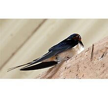 Resting swallow Photographic Print