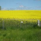 The canola field by Sharlene Gray