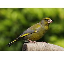Greenfinch on old wooden garden fork handle Photographic Print