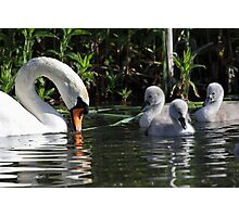 Mute Swan and Cygnets Photographic Print