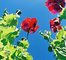 Opium poppies. by Petehamilton