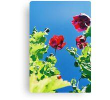 Opium poppies. Canvas Print