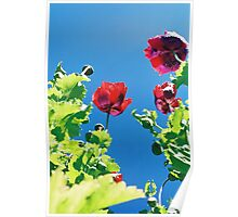 Opium poppies. Poster