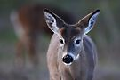 Pretty doe - White-tailed Deer by Jim Cumming