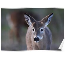 Pretty doe - White-tailed Deer Poster