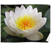 White Waterlily Poster