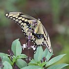 Butterfly on Basil by April-in-Texas