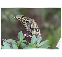 Butterfly on Basil Poster