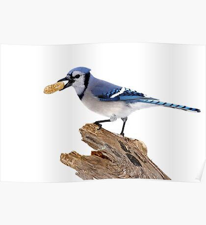 This is my peanut! Blue Jay Poster