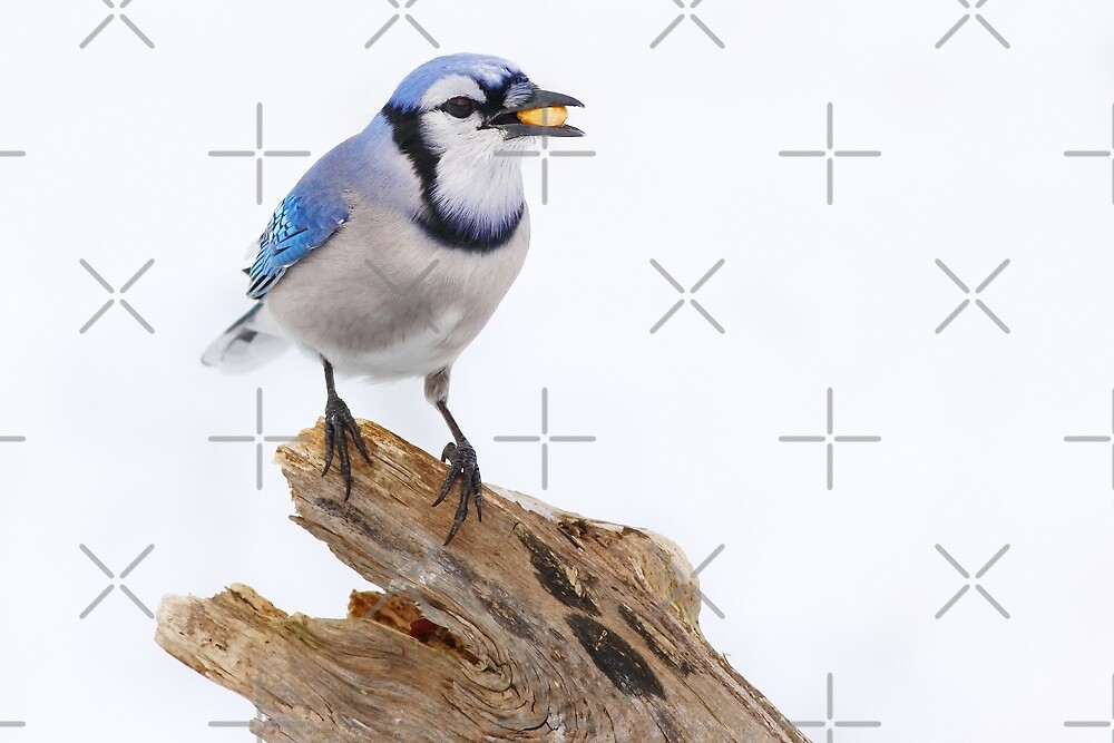 Blue on White - Blue jay by Jim Cumming